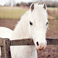 Pretty White Pony Looking Over Fence Print by Sharon Vos-Arnold
