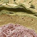 Primate Ear Canal, Sem Poster by Steve Gschmeissner