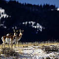 Pronghorn (antilocarpa Americana) by altrendo nature