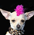 Punk Rock Chihuahua Print by RITMO BOXER DESIGNS