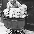 Puppies In A Pram Poster by Fox Photos