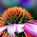 Purple Coneflower Delight Print by Bill Tiepelman