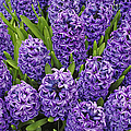 Purple Hyacinth Flowers Print by Adam Jones and Photo Researchers
