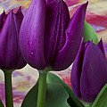 Purple tulips Poster by Garry Gay