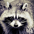 Raccoon Looking At Camera Poster by Isabelle Lafrance Photography