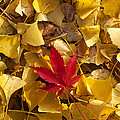 Red Autumn Leaf Poster by Garry Gay