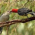 Red Bellied Woodpeck feeding young Poster by Alan Lenk
