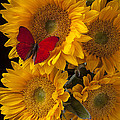 Red butterfly with four sunflowers Print by Garry Gay