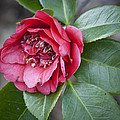 Red Camellia Squared Print by Teresa Mucha