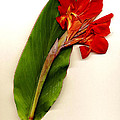 Red Canna Poster by JDon Cook