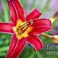 Red Daylily Print by Ryan Kelly