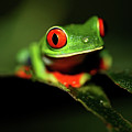 Red Eye Green Frog Print by wildlife cosmos