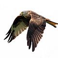 Red Kite In Flight Poster by Grant Glendinning Photography