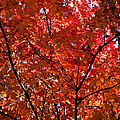 Red Leaves Black Branches Poster by Rich Franco