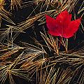 Red Maple Leaf On Pine Needles In Pool Poster by Mike Grandmailson