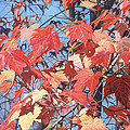 Red Maples Print by - Harlan