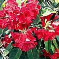 Red Rhododendrons of Dundarave Poster by David Lloyd Glover