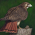 Red Tail Hawk Poster by Pat Erickson