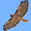Red Tailed Hawk in flight Poster by Wingsdomain Art and Photography