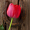 Red Tulip And Horseshoe  Poster by Garry Gay