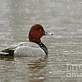Redhead Duck in winter Snow Storm Poster by Inspired Nature Photography By Shelley Myke
