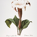 REDOUTE: DATURA, 1833 Poster by Granger