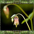 Redwood Columbine Poster by Bell And Todd