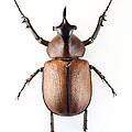 Rhinoceros Beetle Print by Lawrence Lawry