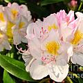 Rhododendron Poster by Catherine Reusch  Daley