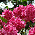 Rhododendrons Garden art prints Pink Rhodies Floral Print by Baslee Troutman Photography Art Prints