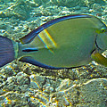 Ringtail Surgeonfish Poster by Michael Peychich