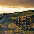Road Through Vineyard Print by Jeremy Woodhouse