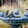 Robins On Birdbath Poster by Barbara Rich