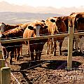 Rockies Cattle Country Print by Al Bourassa