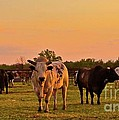 Rodeo Bulls at Dawn Poster by Gus McCrea