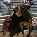Rodeo Competitor In A Steer Riding Poster by Chris Johns