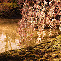 Romance - Sunlight through Cherry Blossoms Poster by Vivienne Gucwa