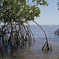 Root Legs Of Red Mangroves Extend Print by Medford Taylor