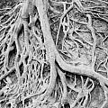 Roots in Black and White Print by Steve Shockley