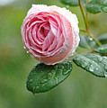 Rose  'geoff Hamilton' by myu-myu