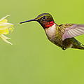 Ruby-Throated Hummingbird Poster by Mircea Costina Photography
