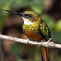Rufous-tailed Jacamar Male Poster by Tony Camacho
