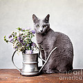 Russian Blue 02 Poster by Nailia Schwarz