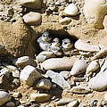 Sand Martins Poster by Duncan Shaw