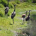 Sandhill Family by the Pond Print by Carol Groenen