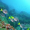School of Razor Surgeonfish on rocky seabed Poster by Sami Sarkis