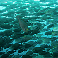School Of Yellow Mask Surgeonfish, Raja Poster by Beverly Factor