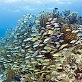 Schools Of Grunts, Snappers, Tangs Print by Karen Doody