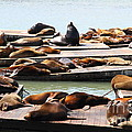 Sea Lions At Pier 39 San Francisco California . 7D14316 Print by Wingsdomain Art and Photography