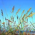 Sea Oats and Sea Print by Thomas R Fletcher
